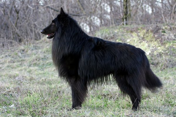 Belgian Sheepdog Puppies Breed Information Puppies For Sale