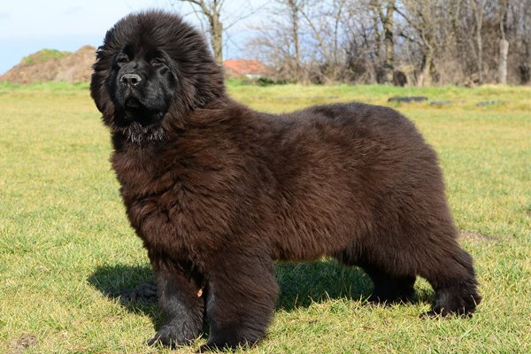 Black Newfoundland picture