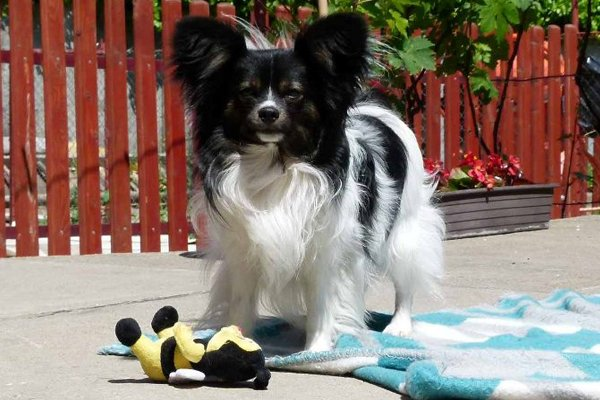Tricolor Papillon Puppy
