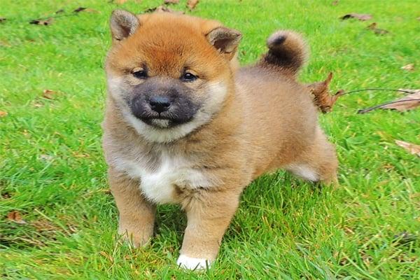 Red Shiba Inu Puppy image