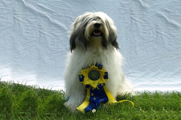 White with Sable markings Tibetan Terrier image