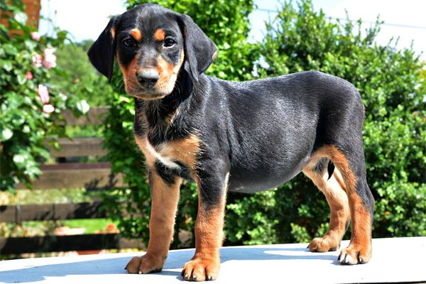 Black and Tan Transylvanian Hound Puppy piture