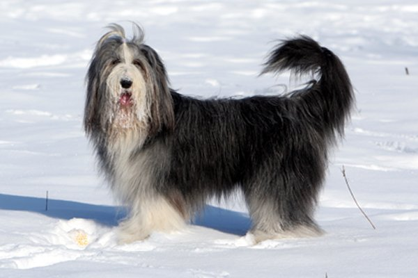 Black and White Bearded Collie image
