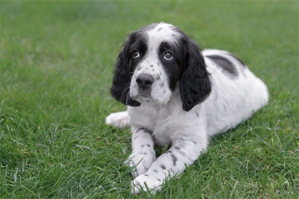 White with markings English Setter Puppy picture