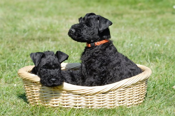 Kerry Blue Terrier Puppies picture