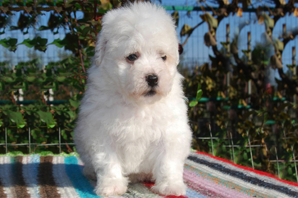White Bolognese Puppy picture