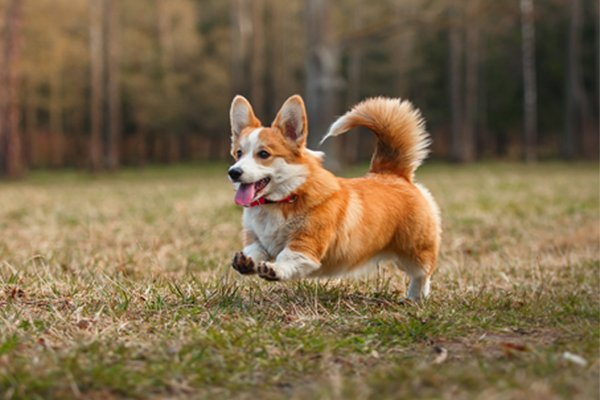 Red and White Welsh Corgi picture