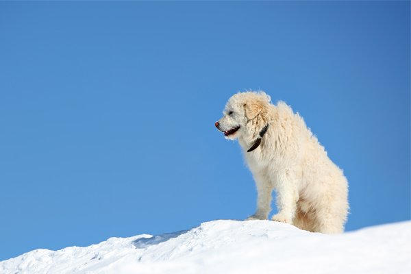 South Russian Shepherd picture
