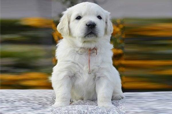 White Golden Retriever Puppy picture