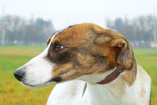 White with markings Hunragian Greyhound picture