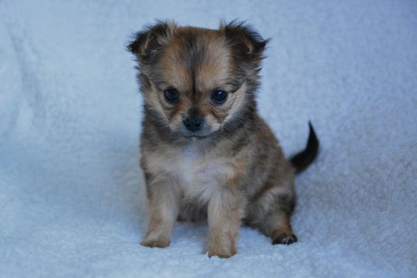 Grey Chihuahua Puppy image