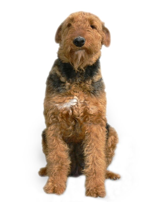 Airedale Terrier Puppies Breed information  Puppies for Sale