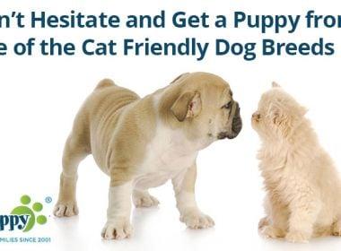 Cat-Friendly-Dog-Breeds