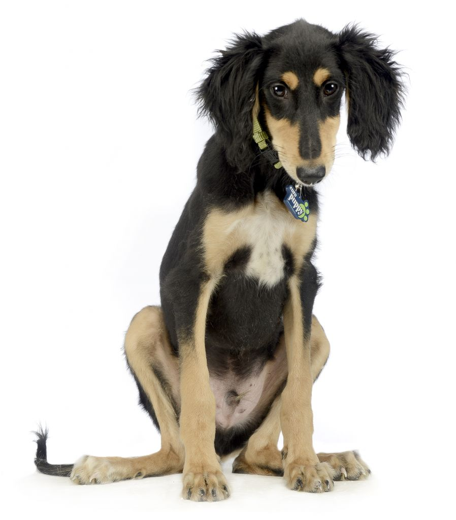 Saluki Puppies Breed Information Amp Puppies For Sale