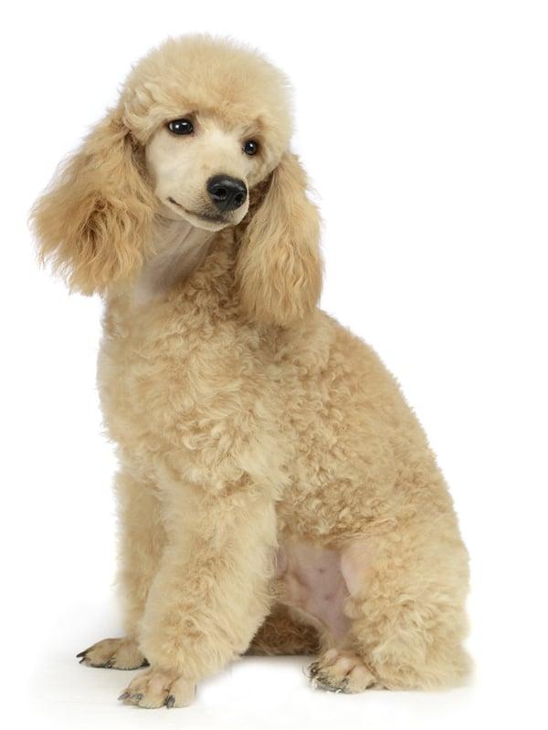 Standard Poodle White image