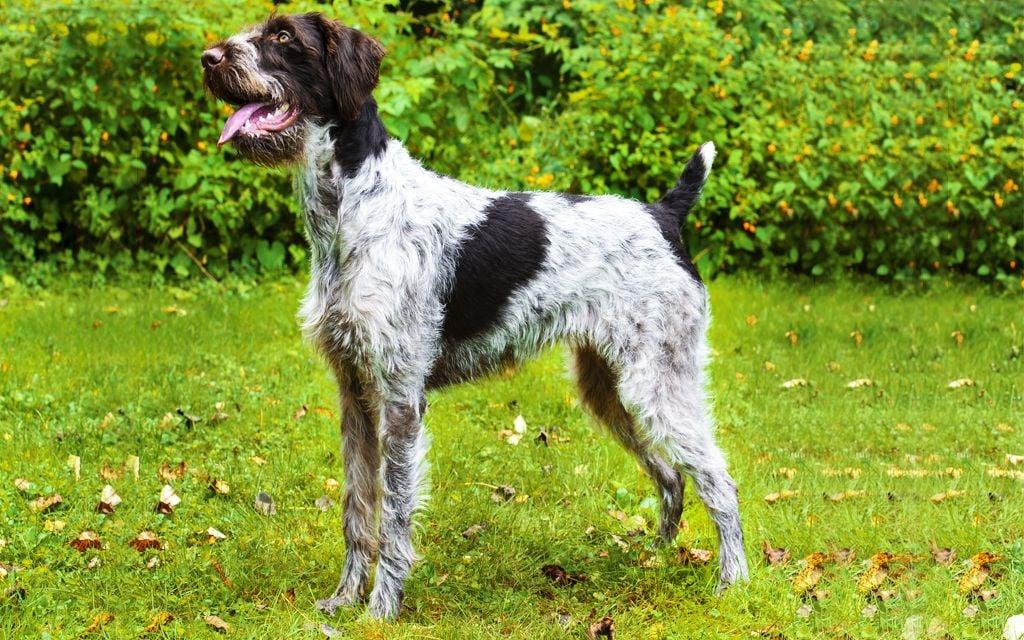 Best Tempered Medium Sized Dogs