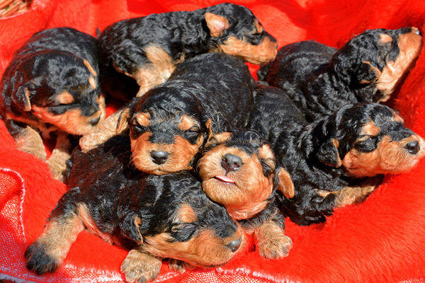 Black and Tan Airedale Terrier Puppies picture