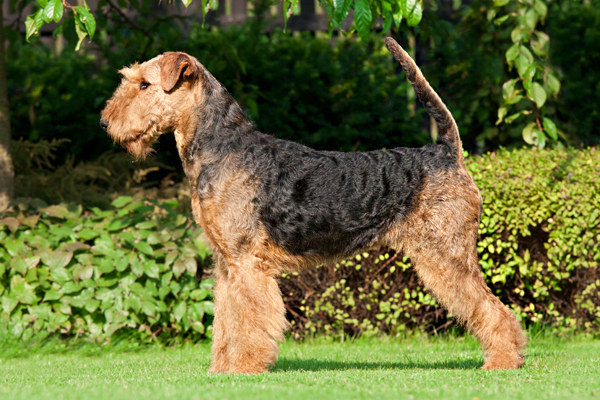 Black and Tan Airedale Terrier picture