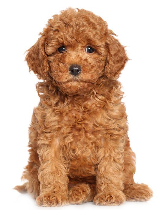 Miniature Poodle image