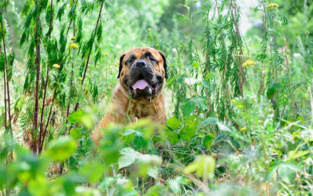 Red Bullmastiff picture