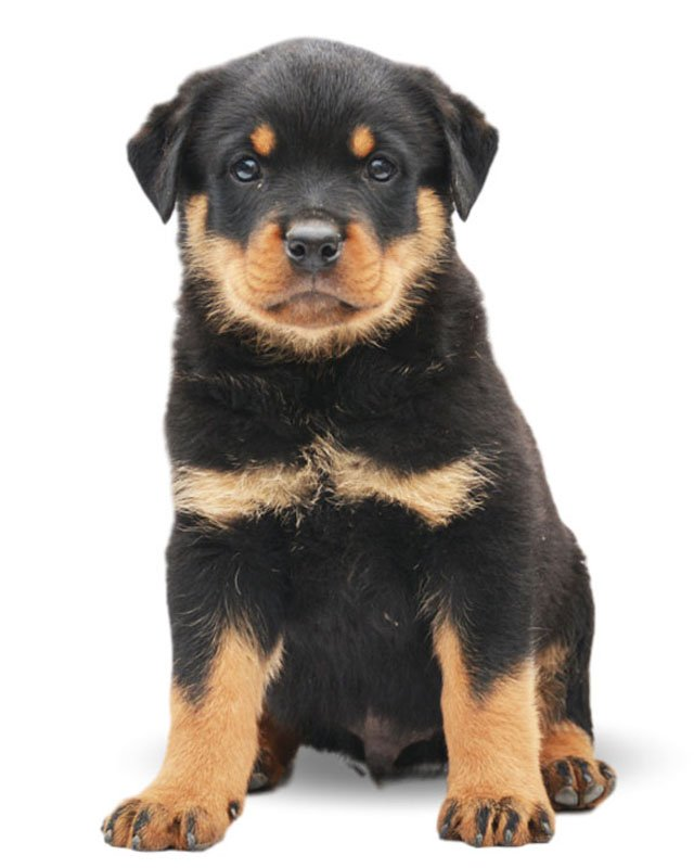 Rottweiler Puppies Breed information & Puppies for Sale