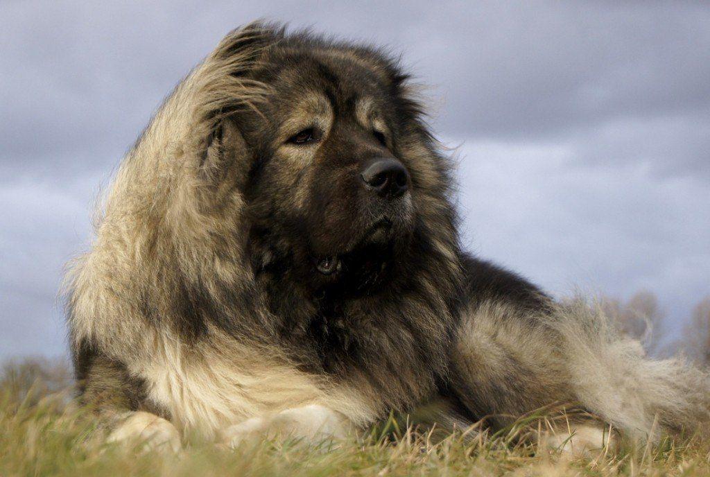 Caucasian Mountain Dog Video