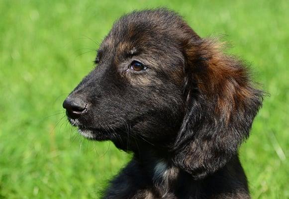 afghan hound brindle puppy image