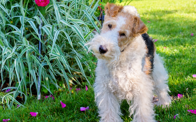 fox terrier tri-color image
