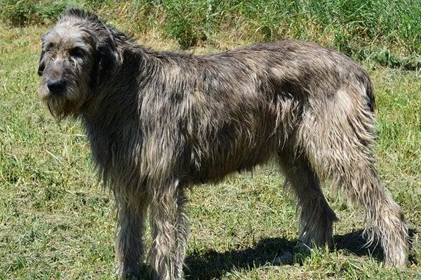 irish wolfhound brindle image