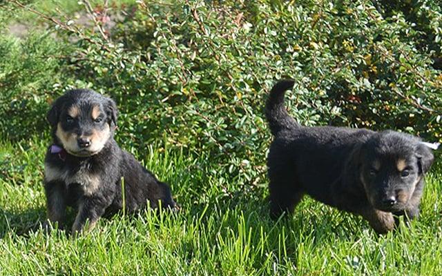 hovawart black&tan puppies image