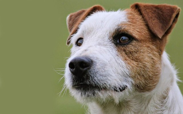 Jack Russell Terrier Puppies Breed Information Amp Puppies