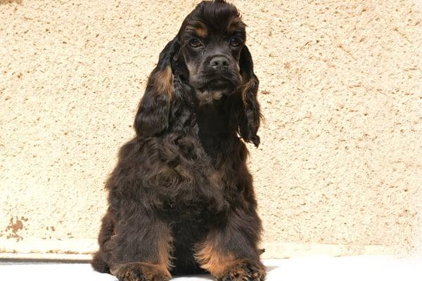 american cocker spaniel black&tan image