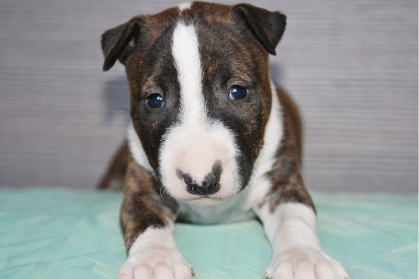 miniature bull terrier brindle puppy image