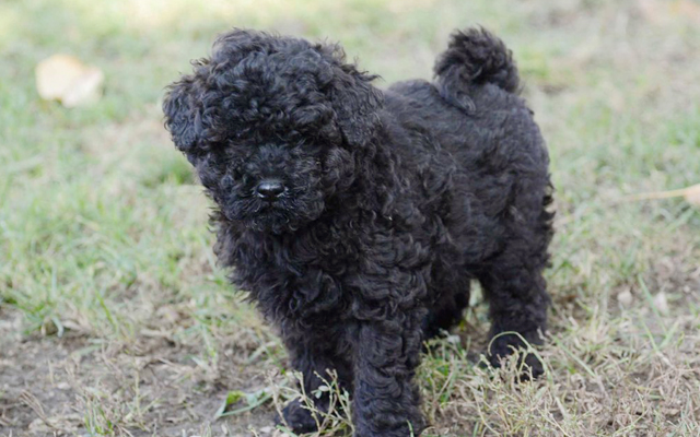 Puli Puppies Breed Information Puppies For Sale
