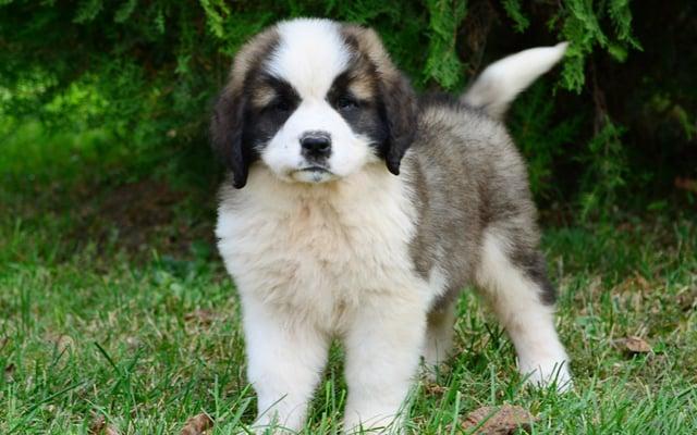 saint bernard puppy image