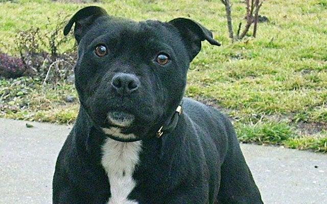 staffordshire bull terrier black image