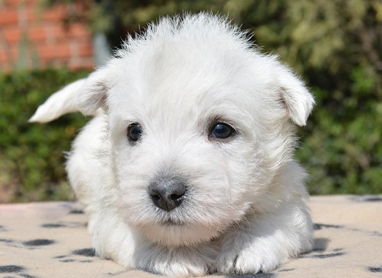 west highland terrier puppy image