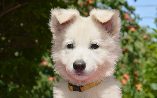White Swiss Shepherds Puppies Breed Information Puppies