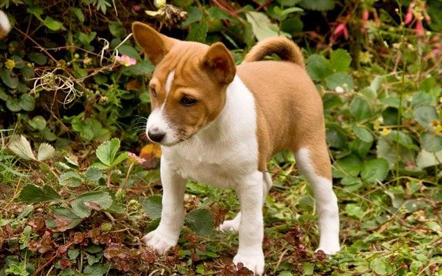 basenji chestnut red puppy image