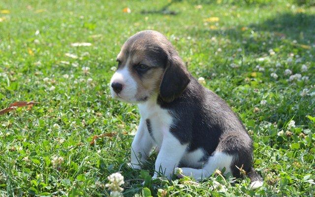 beagle classic tri puppy image