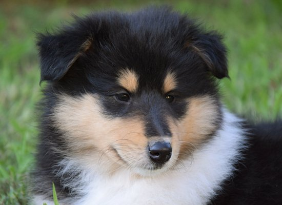 collie black white & tan puppy image