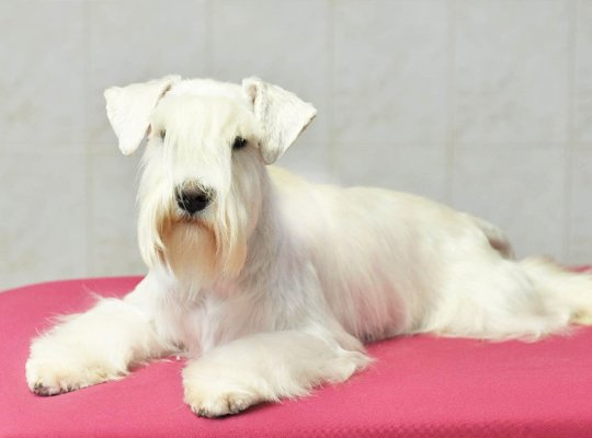 miniature schnauzer white image