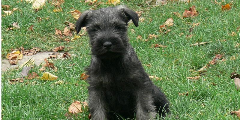 standard schnauzer black puppy image