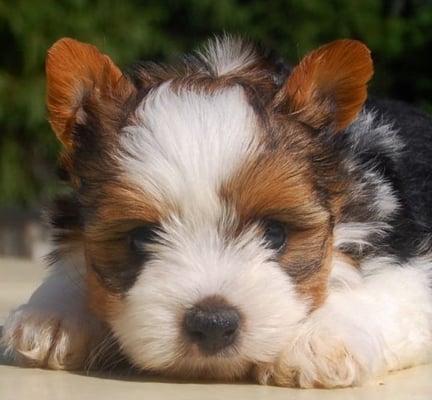 biewer yorkie black&tan puppy image