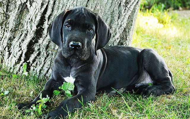 great dane black puppy image