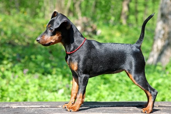 Miniature Pinscher Puppies Breed Information Puppies For Sale