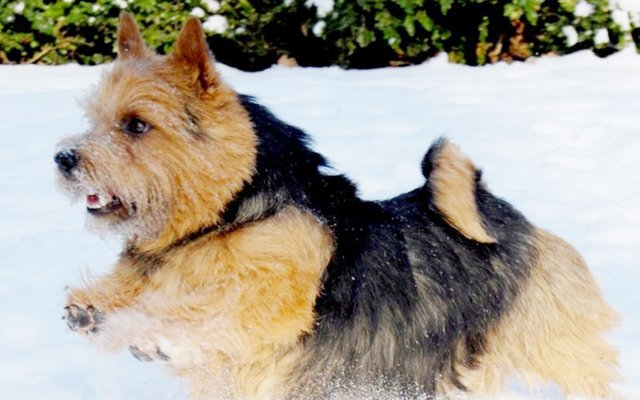 norwich terrier black&tan image