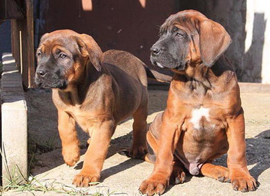 tosa inu red puppies image