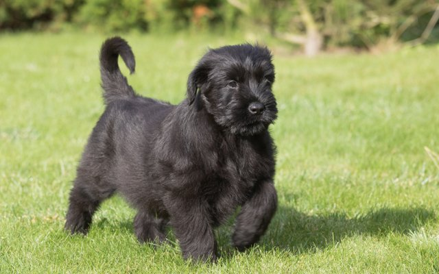 giant schnauzer black puppy image