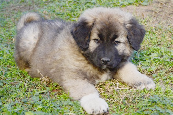 caucasian mountain dog fawn puppy image